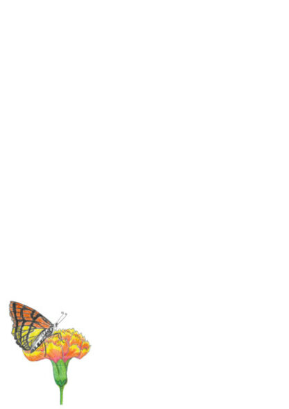A4 Butterfly On Marigold