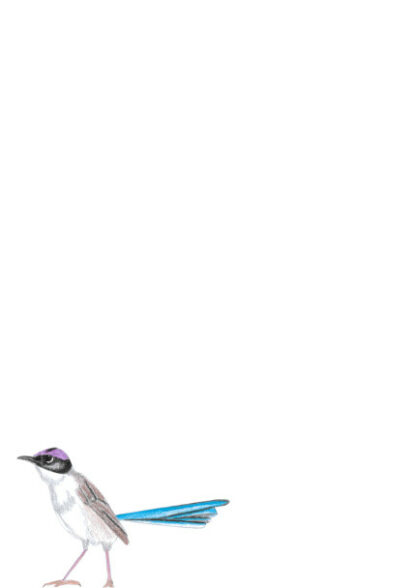A4 Purple Crowned Fairywren