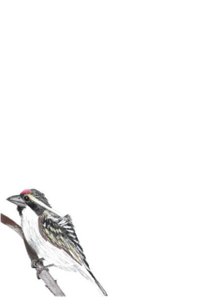 A4 Acacia Pied Barbet