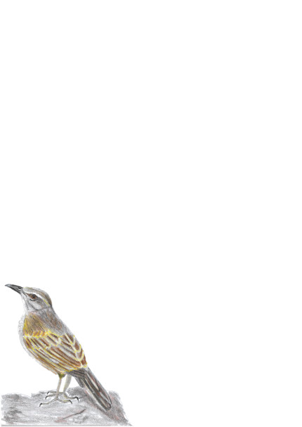 A4 African Rock Pipit