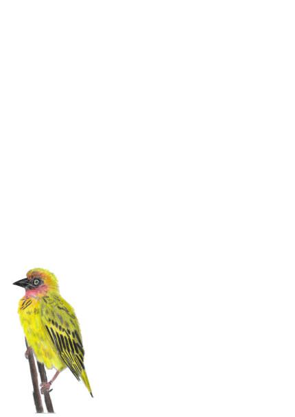 A4 Cape Weaver