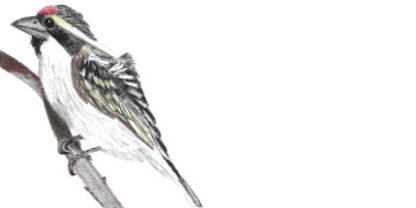 Envelope Acacia Pied Barbet