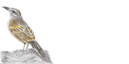 Envelope African Rock Pipit