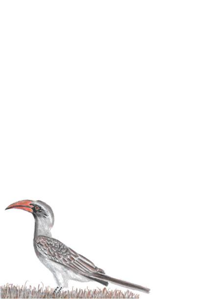 A4 Bradfield's Hornbill