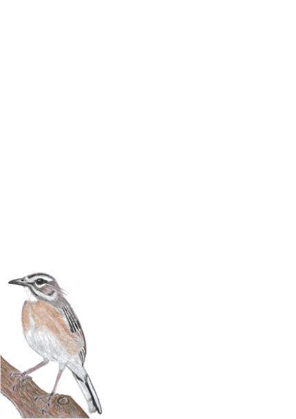 A4BrownScrub-Robin