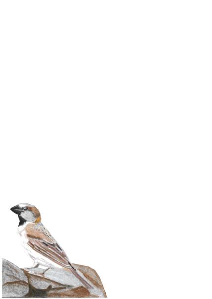 A4 Great Sparrow