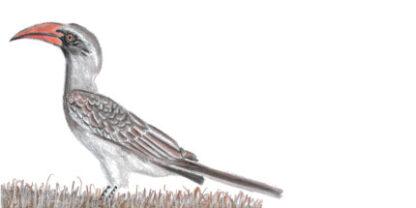 Bradfield's Hornbill