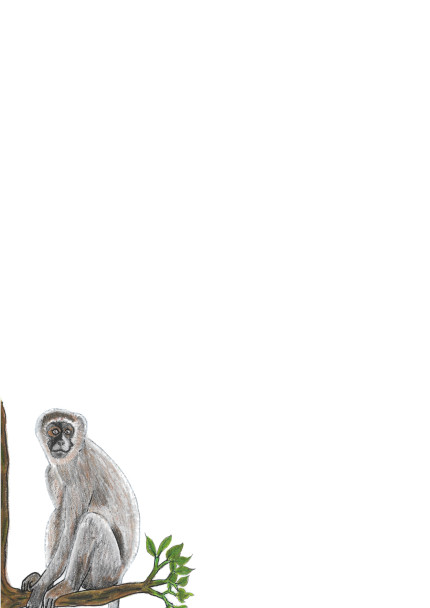 A4 Vervet Monkey With Colour