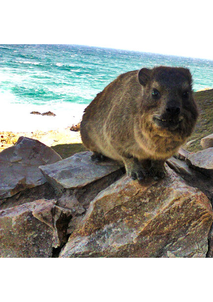 Phto of a Dassie taken in Mossel Bay By Encore Services Maintenance Specialists