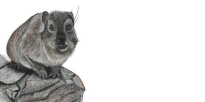 Picture of a Dassie for printing on a DL envelope
